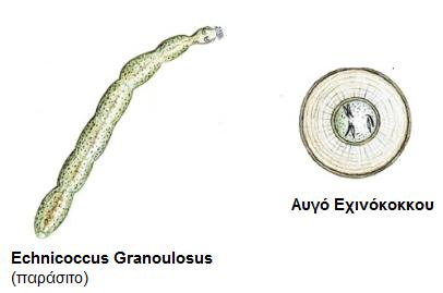 exinokokkos1